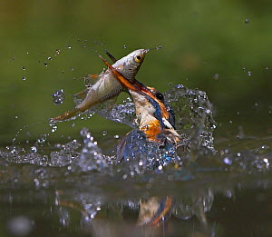 Common kingfisher (Alcedo atthis) in water carrying fish, UK - Andy Rouse
