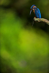Common kingfisher (Alcedo atthis) on perch watching fish, UK - Andy Rouse