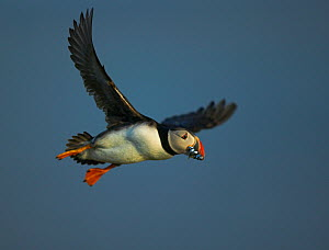 Puffin (Fratercula arctica) landing carrying Sand eels, Fair Isle, Shetland Islands, UK - Andy Rouse