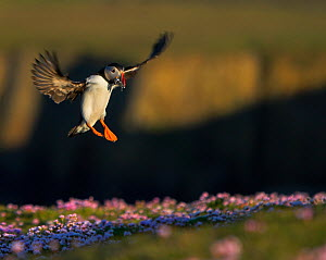 Puffin (Fratercula arctica) landing carrying Sand eels in beak, Fair Isle, Shetland Islands, UK - Andy Rouse