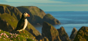 Puffin (Fratercula arctica) standing on cliff top, Fair Isle, Shetland Islands, UK  -  Andy Rouse