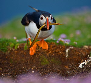 Atlantic puffin (Fratercula arctica) by burrow, carrying unpalatable pipefish for chick due to Sand eel over-fishingm, Fair Isle, Shetland, UK  -  Andy Rouse