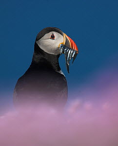 Puffin (Fratercula arctica) with sand eels for young, Fair Isle, Shetland Islands, UK - Andy Rouse