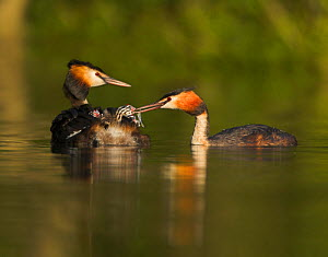 Male Great crested grebe (Podiceps cristatus) feeding chicks being carried on female's back, UK  -  Andy Rouse