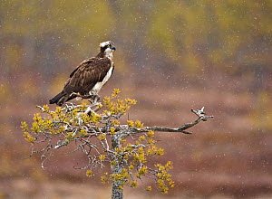 Osprey (Pandion haliaetus) perching on the top of a tree in snowstorm, UK, Europe  -  Andy Rouse