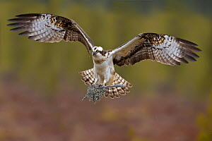 Male Osprey (Pandion haliaetus) flying to nest with moss, UK, Europe - Andy Rouse