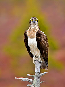 Osprey (Pandion haliaetus) perching, UK, Europe - Andy Rouse