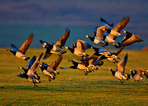 Barnacle geese (Branta leucopsis) taking off, Islay, Scotland  -  Andy Rouse