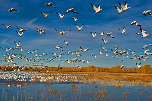 Flock of Snow geese (Chen caerulescens) taking off, Bosque del Apache, New Mexico, USA - Andy Rouse