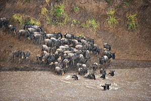 Common wildebeest (Connochaetes taurinus) crossing river on migration in rain, Masai Mara, Kenya, Africa  -  Andy Rouse