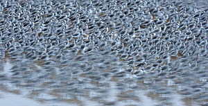 Knot (Calidris canutus islandica) in winter roost, Lancashire, UK  -  Andy Rouse