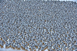 Knot (Calidris canutus islandica) in water at winter roost site, Lancashire, UK  -  Andy Rouse