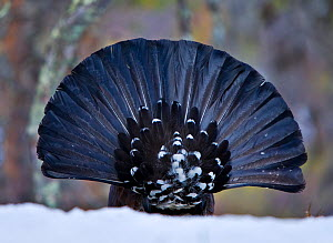 Rear view of male Capercaillie (Tetrao urogallus) displaying in forest, UK  -  Andy Rouse