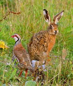 European brown hare (Lepus europaeus) and Red legged partridge (Alectoris rufa) on shooting estate, Wiltshire, UK - Andy Rouse