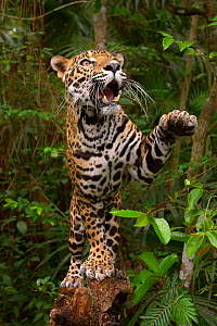 Jaguar (Panthera onca) on tree with paw in air, in rainforest, captive, Belize  -  Andy Rouse
