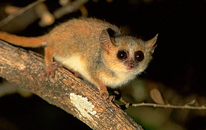 Grey mouse lemur (Microcebus murinus) on branch in spiny forest at night, Madagascar - Andy Rouse
