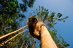 Common brown lemur (Eulemar fulvus) looking down tree, Madagascar - Andy Rouse