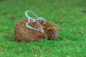 European hedgehog (Erinaceus europeaus) caught in beer can wrapper (photograph taken at vets) UK  -  Andy Rouse
