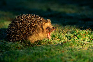 European hedgehog (Erinaceus europeaus) yawning, UK  -  Andy Rouse