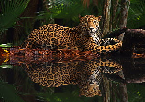 Jaguar (Panthera onca) by rainforest pool with reflection in water, captive, Belize - Andy Rouse