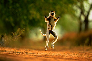 Verreaux's sifaka (Propithecus verreauxi) running carrying baby, Berenty Private Reserve, Madagascar  -  Andy Rouse