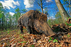 Wild boar (Sus scrofa) in woodland, Kent, UK - Andy Rouse