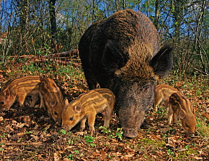 Wild boar (Sus scrofa) sow with five piglets, Kent, UK - Andy Rouse