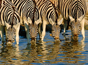 RF- Four Burchell's zebras (Equus quagga) drinking, Etosha National Park, Namibia. (This image may be licensed either as rights managed or royalty free.)  -  Andy  Rouse