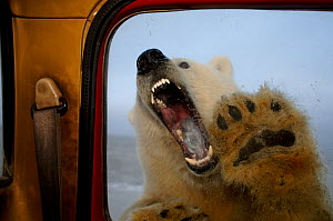 Polar bear (Ursus maritimus) trying to bite window of a tundra buggy, with paws against the glass, 1002 coastal plain of the Arctic National Wildlife Refuge, Alaska, October 2005  -  Steven Kazlowski