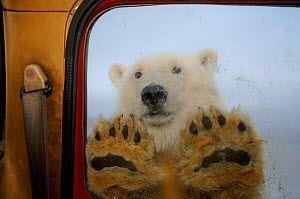 Polar bear (Ursus maritimus) looking through window of a tundra buggy, with paws against the glass, 1002 coastal plain of the Arctic National Wildlife Refuge, Alaska, October 2005  -  Steven Kazlowski