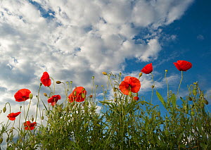 Common poppy (Papaver rhoeas) flowers, France, May 2009 - Wild Wonders of Europe / Benvie