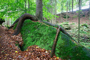 Tree with roots growing over large moss covered rock, Ceske Svycarsko / Bohemian Switzerland National Park, Czech Republic, September 2008  -  Wild Wonders of Europe / Ruiz
