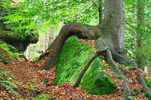 Tree growing over large moss covered rock, Ceske Svycarsko / Bohemian Switzerland National Park, Czech Republic, September 2008  -  Wild Wonders of Europe / Ruiz