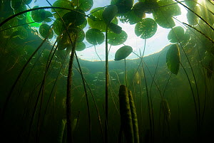 Fragrant water lilies (Nymphaea odorata) in Lake Skadar, Montenegro, May 2008  -  Wild Wonders of Europe / Radisics