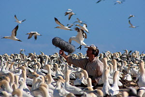 BBC Producer, Hugh Pearson, recording sound of Cape gannets (Morus capensis) Bird Island, off the coast of the Eastern Cape, South Africa, January - Hugh Pearson