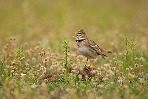 Calandra lark (Melanocorypha calandra) singing, Spain  -  Jose Luis GOMEZ de FRANCISCO