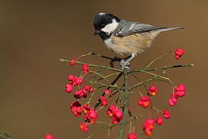 Coal tit (Periparus ater) perched in Spindle tree, Spain  -  Jose Luis GOMEZ de FRANCISCO