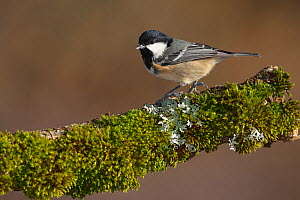 Coal tit (Periparus ater) perched on branch, Spain  -  Jose Luis GOMEZ de FRANCISCO