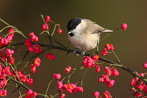 Marsh tit (Poecile palustris) perched in Spindle (Euonymus sp) tree, Spain  -  Jose Luis GOMEZ de FRANCISCO