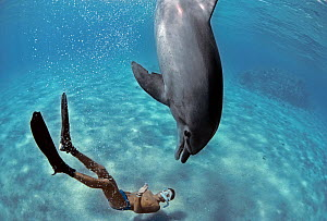 Snorkeler interacting with wild Bottlenose Dolphin (Tursiops truncatus), Nuweiba, Egypt - Red Sea. Model released Model released. - Jeff Rotman