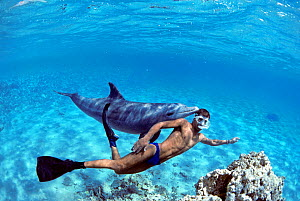 Snorkeler swimming with wild Bottlenose Dolphin (Tursiops truncatus), Nuweiba, Egypt - Red Sea. Model released Model released.  -  Jeff Rotman