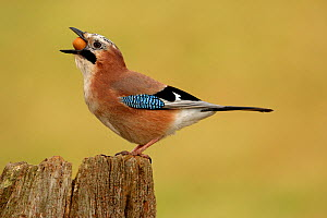 Jay (Garrulus glandarius) feeding on acorn, Warwickshire, UK  -  Mike Wilkes