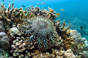 Crown of Thorns starfish (Acanthaster planci) on hard coral, Cebu, Philippines, March  -  Sue Daly