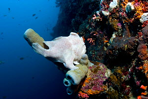 Painted Frogfish (Antennarius pictus) camouflaged amongst tube sponge on coral reef, Cebu, Philippines, March  -  Sue Daly