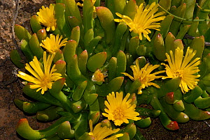 Vygues / Hottentot fig (Capropbrutus edilis) in flower, Little karoo, Western Cape, South Africa  -  Tony Phelps