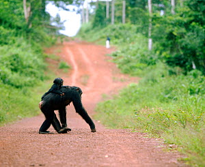 Female Chimpanzee (Pan troglodytes) with baby on back crossing road, from study group in Bossou, Guinea  -  Justine Evans