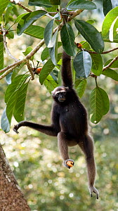Alpha female Bornean Muller's / Grey gibbon (Hylobates muelleri) holding fruit in foot hanging from a fruiting fig tree, Danum Valley, Sabah, Borneo, Endangered species  -  Justine Evans