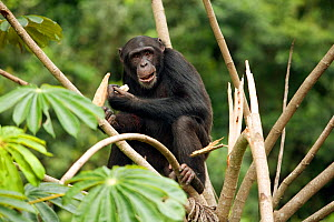 "Juvenile male Chimpanzee (Pan troglodytes) ""Pele"", feeding on stolen maize after crop raiding from local village, part of the Bossou study group, Guinea  -  Justine Evans"