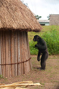 "Adolescent male Chimpanzee (Pan troglodytes) ""Pele"" standing next to crop storage hut, from study group in Bossou, Guinea  -  Justine Evans"