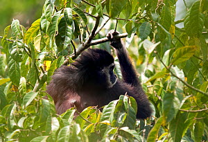 "Female White-handed gibbon (Hylobates lar) in tree, ""Cassandra"" a member of study group ""C"", Khao Yai National Park, Thailand, Endangered species  -  Justine Evans"